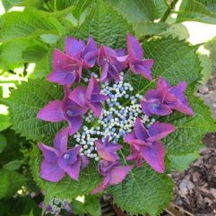 Hydrangea Macrophilla Twilight - Plum Lace Cap