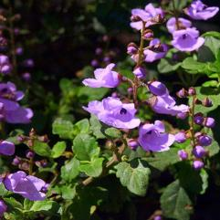 Prostanthera rotundifolia - Round Leaf Mint Bush