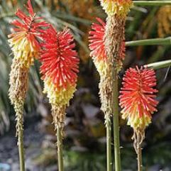 Kniphofia northiae - Red Hot Poker Large