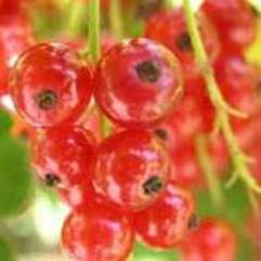 Ribes rubrum - Red Currant