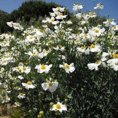 Romneya coulteri - Californian Tree Poppy