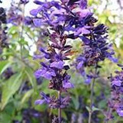 Salvia Purple Spires