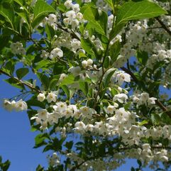 Styrax japonicus  Japanese Snowbell