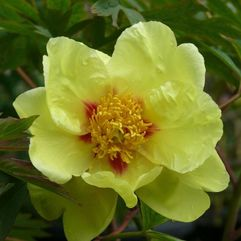 Tree Peony Rose - Golden Bowl