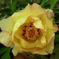 Tree Peony Rose - Golden Vanity
