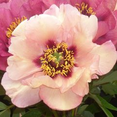 Tree Peony Rose - Marchioness