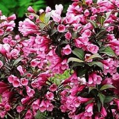 Weigela foliis purpureis