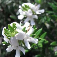 Westringia fruiticosa - Native Rosemary