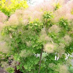 Cotinus coggygria - Young Lady Smoke Bush