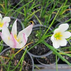 Zephyranthes alba - Autumn Crocus