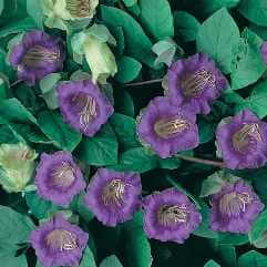 Cobaea scandens - Cathederal Bells