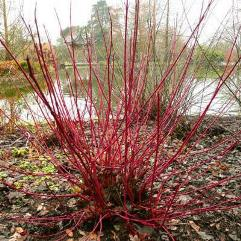 Cornus alba sibirica - Red Stem White Dogwood