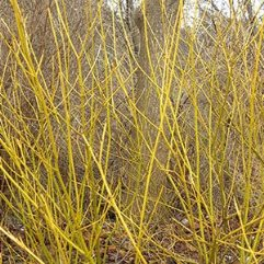 Cornus sericea flaviramea - Yellow Stem Dogwood