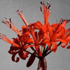 Nerine Fothergill Major