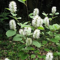 Fothergilla major - Mountain Witch Alder
