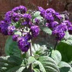 Heliotrope Arborescens - Cherry Pie
