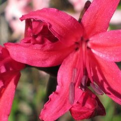 Nerine Lady Lucy Hicks-Beech