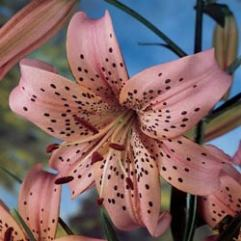 Lilium Pink Giant Tiger Lily
