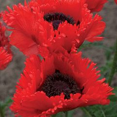 Papaver Orientalie - Can Can