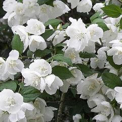 Philadelphus - Mock Orange