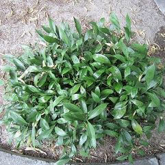 Ruscus x microglossus - Butchers Broom Ground Cover