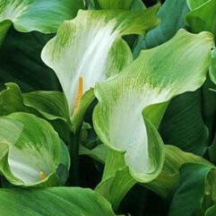 Zantedeschia - Arum Green Goddess
